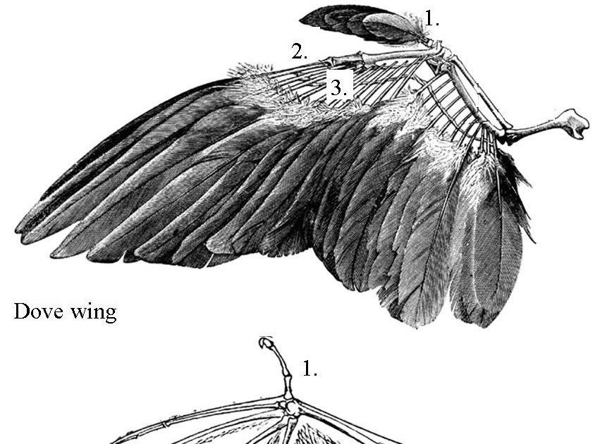 Chicken Wing Anatomy Diagram Wing 2png