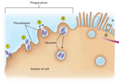 endositosis, bagaimana sel makan, bagaimana sel menelan sel, bagaimana mekanisme fagositosis