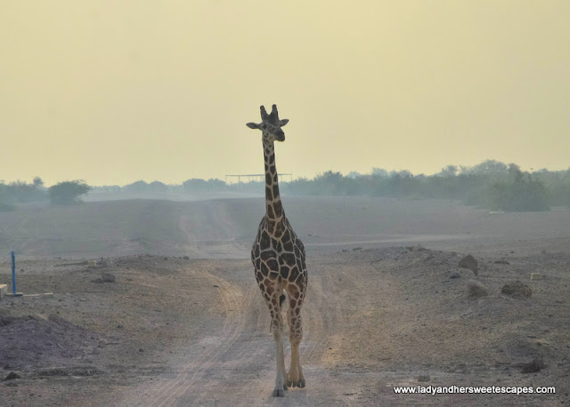 majestic giraffe in Sir Bani Yas island