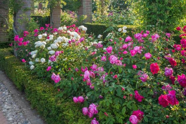 kebun bunga mawar