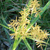 Yer bademi (Cyperus esculentus)