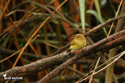 "Mosquitero común (Phylloscopus collybita) de talla ""mini"" entre las ramas de los tamarices que rodean la laguna."
