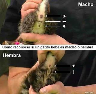 Cómo reconocer si un gatito es macho o hembra