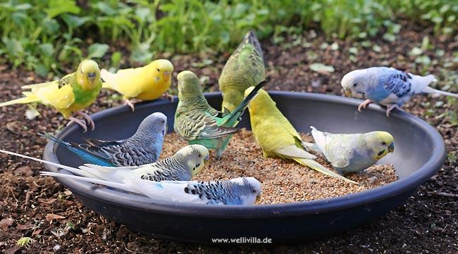 Wellensittiche Vögel Welcher Vogel Passt Zu Mir
