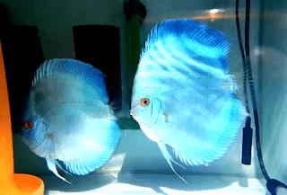 Cara membedakan jenis klamin ikan discus