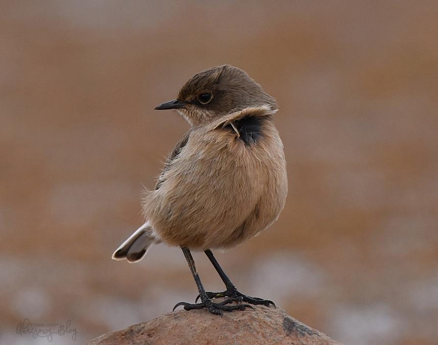 Ptaki Etiopii - na płaskowyżu Sanetti.
