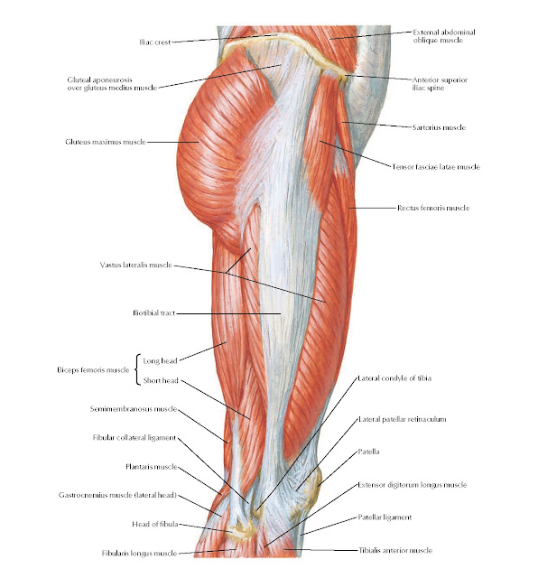 Muscles of Hip and Thigh: Lateral View Anatomy