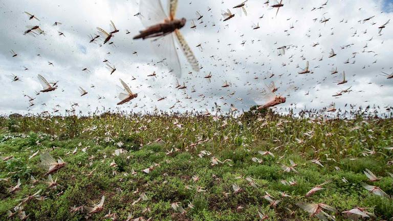Praga de gafanhotos na África Oriental