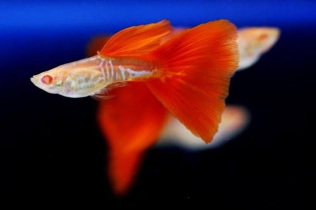 jenis ikan guppy moon dragon