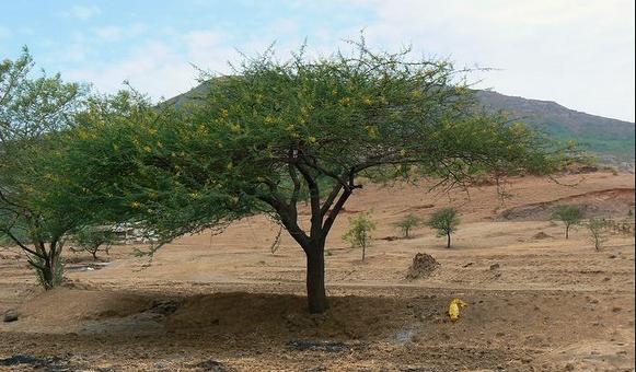 Desi Kikar, Babool, Acacia Tree Medicine Properties