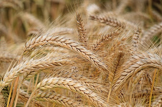 wheat   How to Cure Back Pain Home Remedies   Remedies Find