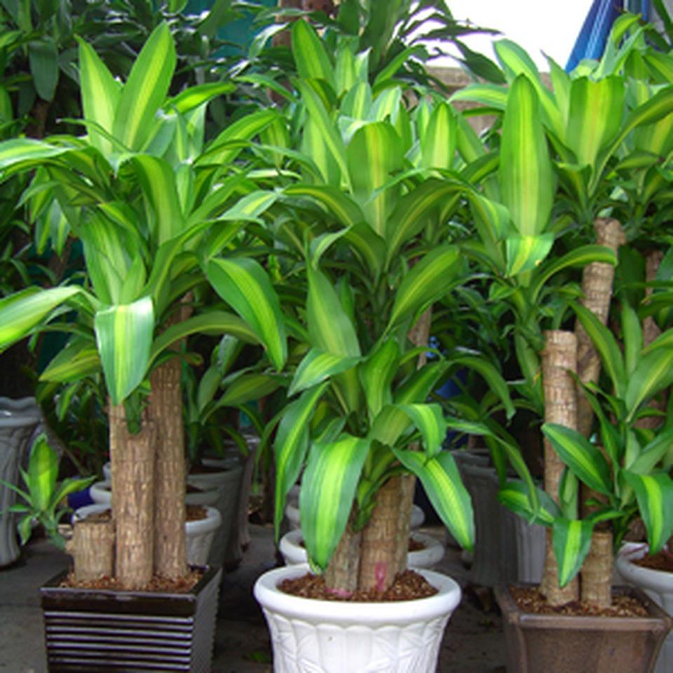 Cây thiết mộc lan có thể hấp thu aceton với lượng lớn nên rất hợp để trồng ở nhà gần mặt đường, không gian gần cơ sở sản xuất sơn, nhựa, hóa chất