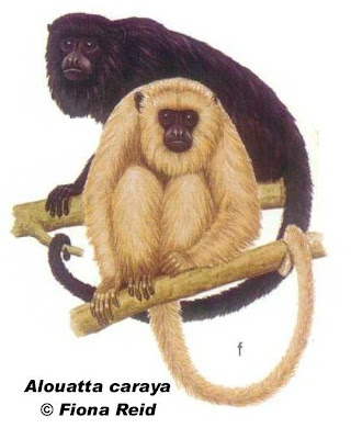 Mono aullador negro Alouatta caraya