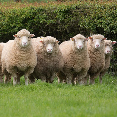 Five Poll Dorset sheep in a field