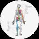A diagram of the Skeleton: Posterior view