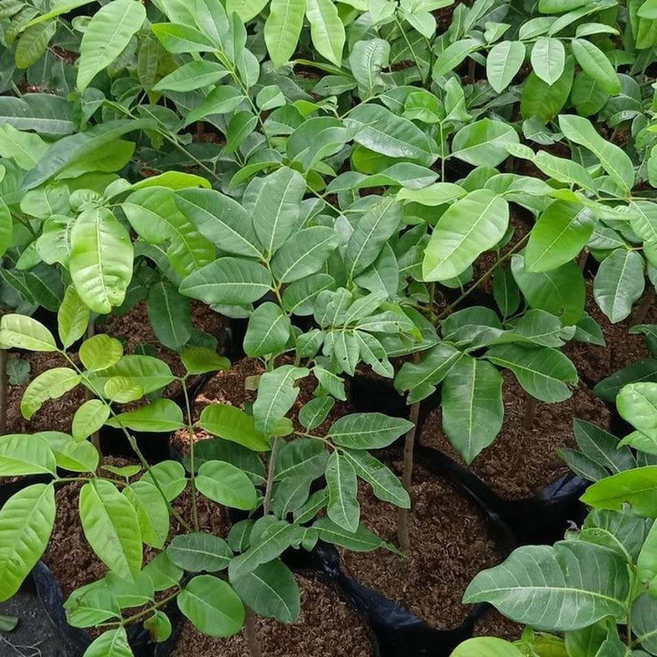 Bibit tanaman kelengkeng matalada hasil stek okulasi cepat berbuah Sumatra Barat