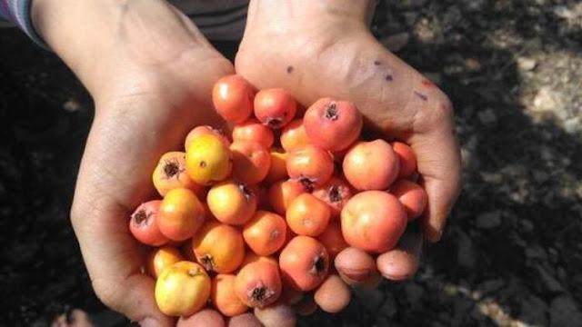 Alıç meyvesi nedir? faydaları nelerdir? neye iyi gelir? Çocukluğumuzda okul önlerinde kolye şeklinde ipe dizilip satılan alıç, halk dilinde ekşi muşmula olarakta anılan alıçın yararları nelerdir? Alıç meyvesi hakkında bilgi..