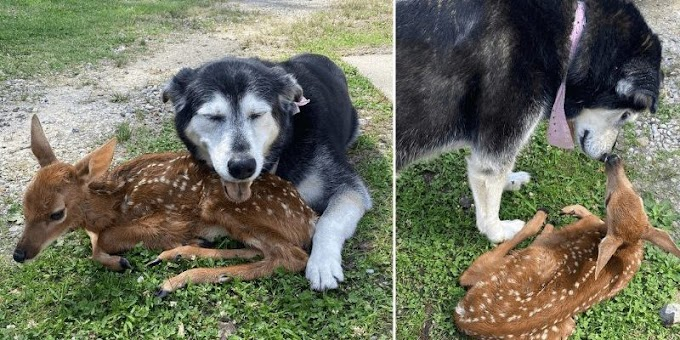 Touching moment selfless and kind dog comforts a sick baby deer found on his human's ranch