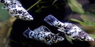 ikan black molly jantan dan betina