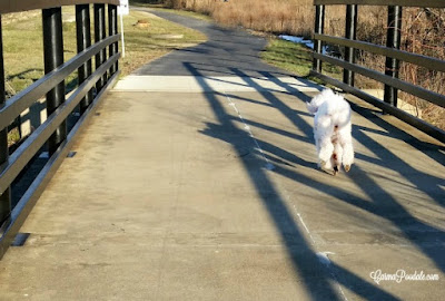 white poodle, Carma Poodale, running across a bridge