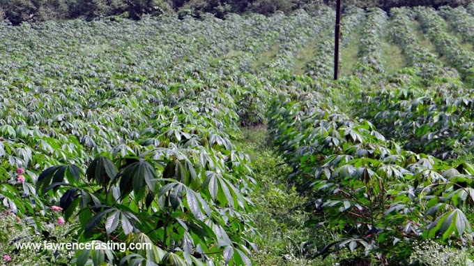 How To Start Cassava Farming In Nigeria (detailed guide)
