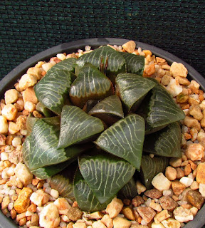 Haworthia truteriorum - GM 675 Ezeljagd west