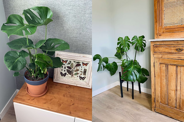 Monstera Gatenplant jngl.nl