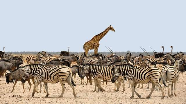 intresting fact about zebra