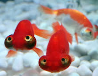 Ikan Hias Koki Fanci Celestion Eye warna merah
