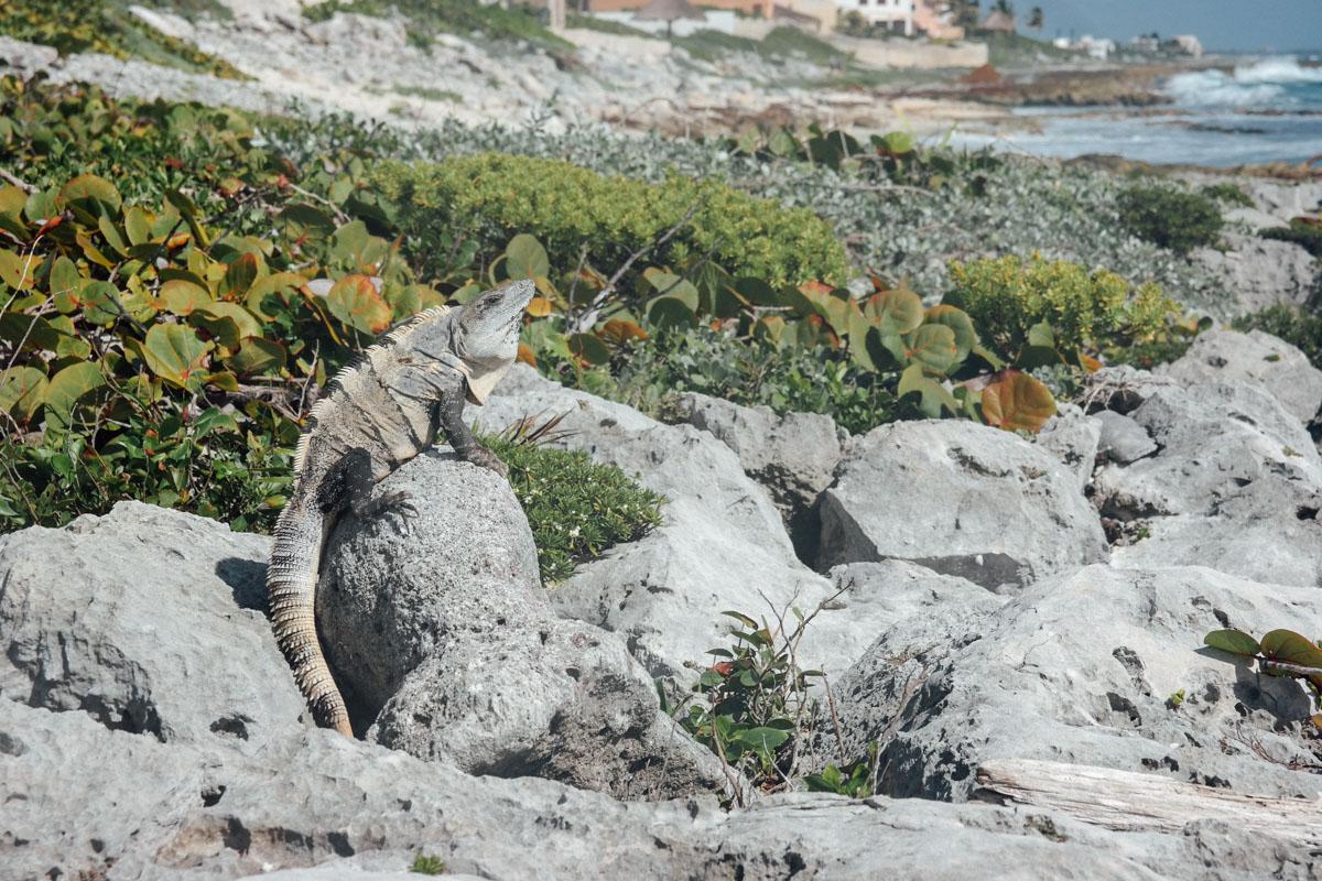 Akumal, Leguane, Echsen an der karibischen Küste