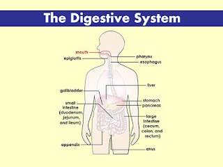 gafacom image for the digestive system