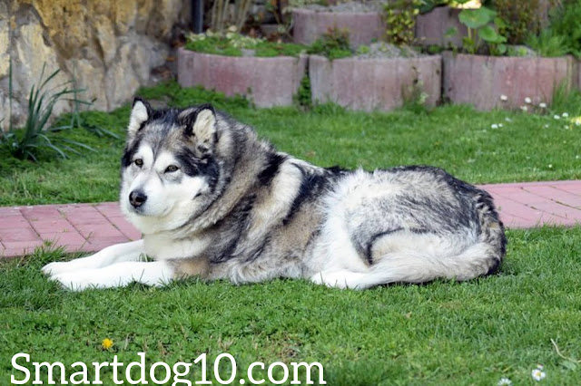 alaskan malamute puppy for sale