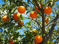 manfaat buah jeruk untuk kesehatan tubuh