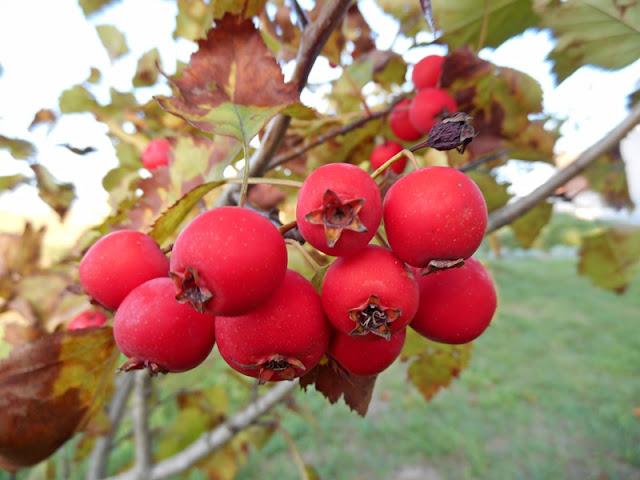 owoce, krzewy, czerwone owoce, owoce jadalne