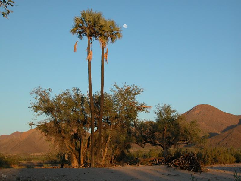 Palmeras en Etosha Park