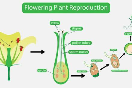 Fertillisasi seksual Tumbuhan