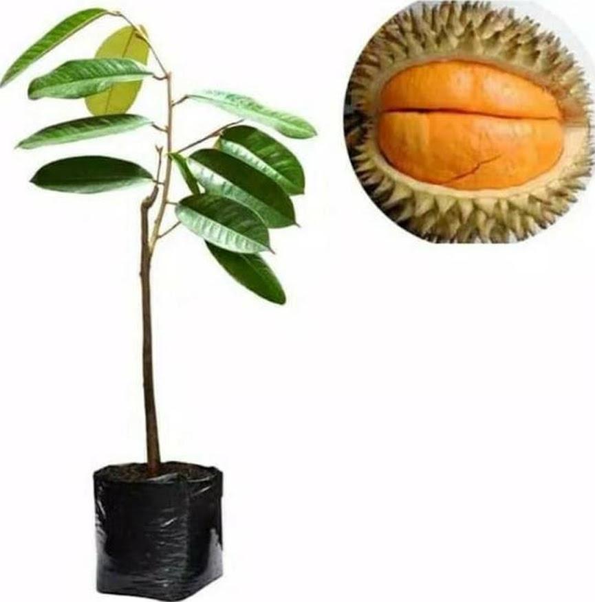 Paket 2 Bibit Durian Musangking Dan Bawor Okulasi A1 Sorong
