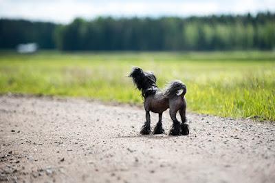 anjing crested sesuai untuk majikan dengan rumah standar dan apartemen