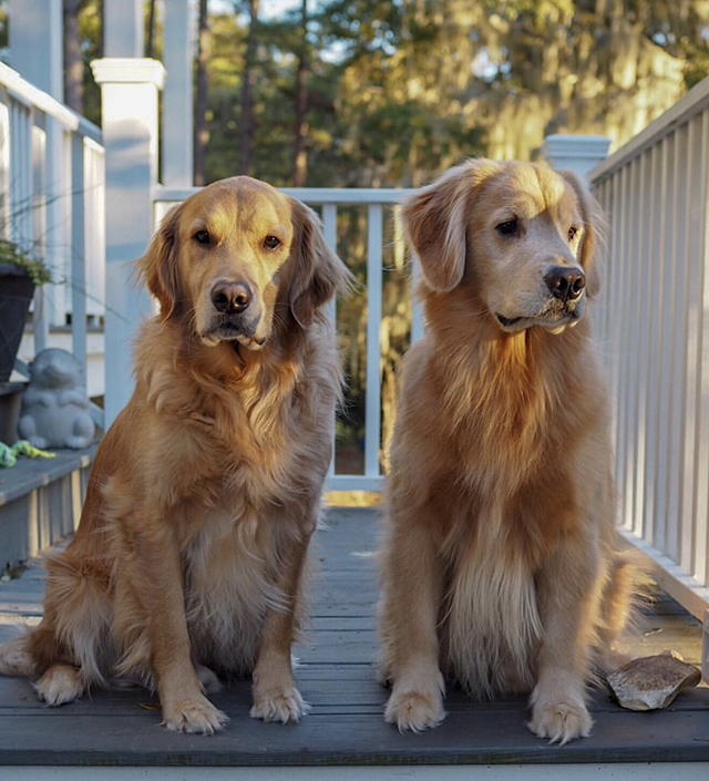 Golden Retrievers Southern