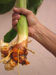 Image showing raw turmeric