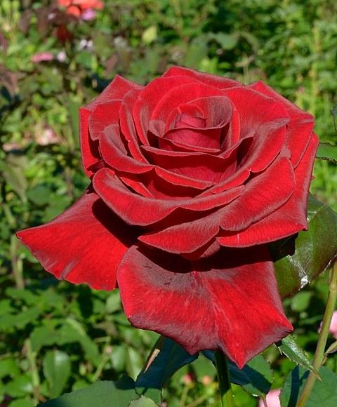 Black Magic сорт розы Тантау фото