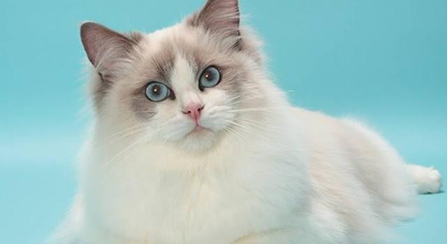 Ciri-Ciri dan Jenis-Jenis Kucing Yang Paling Populer Dipelihara di Indonesia
