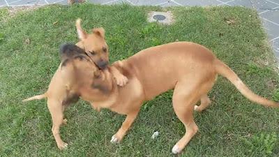 Bullmastiff american bulldog mix Temperament, Size, Adoption, Lifespan, Price