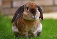tips ternak kelinci pedaging, ternak kelinci pedaging, kelinci pedaging, cara ternak kelinci pedaging, tips ternak kelinci menguntungkan, ternak kelinci pedaging modern, tips ternak kelinci modern