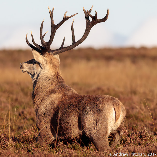 A stag with sixteen antler tines stands in the heather.