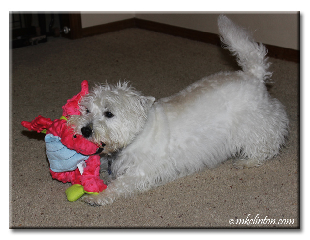 Pierre Westie is draggin' his Magenta Dragon from GoDog