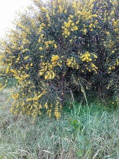 yellow shrubs in March, Cyprus 'yellow month'