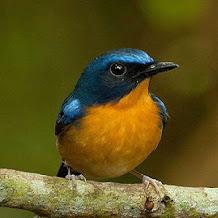 Cara Memilih Burung Tledekan Dengan Tepat Dan Bagus