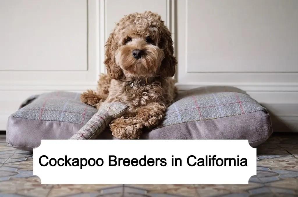 Cockapoo Breeders in California