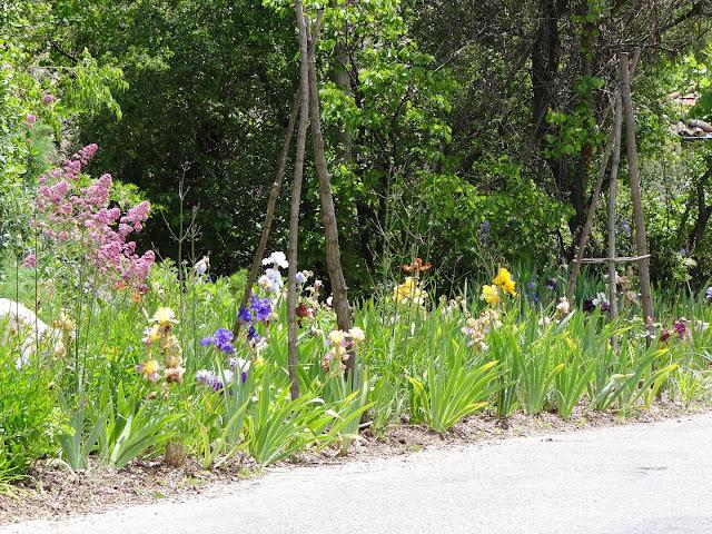 Floraisons 2016 de nos grands iris barbus et Bilan - Page 5 DSC07812